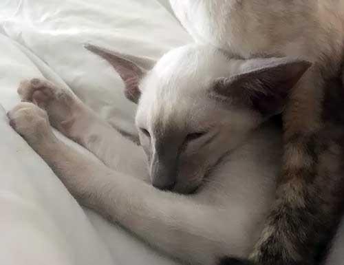 sleepy_siames